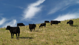 Black cows Stock Photography