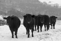 Black Cows. In a snowy field Stock Photo