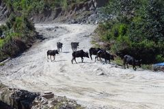 Black cows crossing a sandy dirt road, Num, Nepal royalty free stock photos