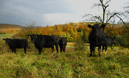 Black Cows In Field. Original image of a herd of cows in the German countryside during fall royalty free stock photo