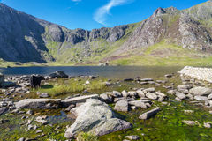 Black cows by lake in Mountains, Llyn Idwal the Devil's Kitche Royalty Free Stock Photo