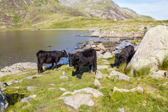 Black cows by lake in Mountains, Llyn Idwal in Snowdonia. Royalty Free Stock Images