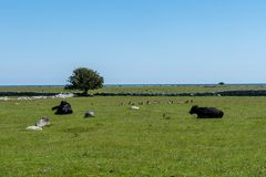 Black cows lying on a green field near the coast Stock Images