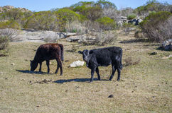 Black Cows Stock Photos