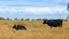 Black cows in pastures stock video