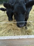 Black cows. 2 black cows standing in dry a grass field Royalty Free Stock Photography