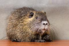 Black coypu, nutria Royalty Free Stock Photo