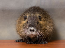 Black coypu, nutria Stock Photography