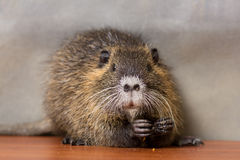 Black coypu, nutria Stock Photos