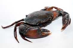 Black crab Royalty Free Stock Image