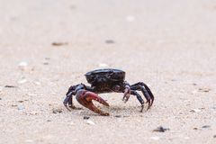 A black crab on the white sandy beach Stock Photo