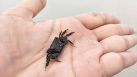 Black crabs on my hand stock photos