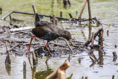 Black Crake Stock Photography