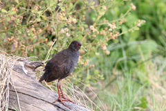 The black crake Amaurornis flavirostra is a waterbird in the rail and crake family Stock Photography