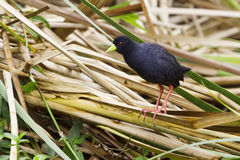 Black Crake On Bamboo. The Black Crake is a small, 8 (20cm) bird, which is black all over and is a member of the family of Rails. It's distinguishing features Stock Photo