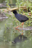 Black Crake With Fish Royalty Free Stock Images