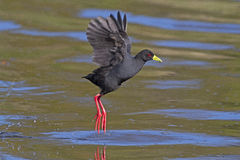 Black Crake Stock Photo