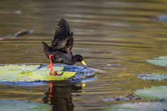 Black Crake in Kruger National park, South Africa Royalty Free Stock Photography