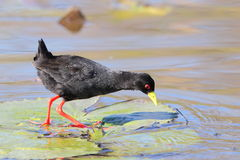 Black Crake standing on a water lilly Stock Image