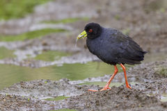 Black Crake Walking With Fish. Birds of the water's edge, Black Crakes are often seen in pairs, or small groups of individuals. They have an unusual high Stock Image