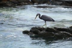 Black crane against rocks. Black crane against coastal rocks Royalty Free Stock Photos