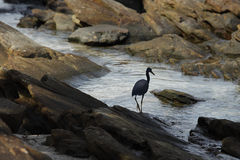 Black crane on coastal rocks Stock Image