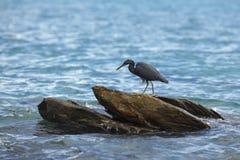 Black crane on the rocks. Black crane on coastal rocks Royalty Free Stock Images