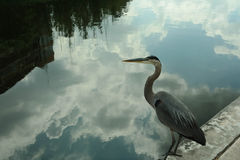 Black crane with water reflection Stock Photography