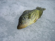 Black Crappie on Ice Royalty Free Stock Image