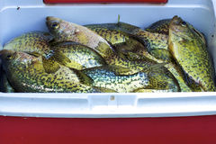 Black crappies Stock Photo