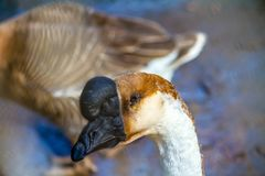 Goose standing in a zoo stock images