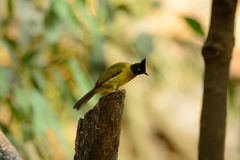 Black-crested bulbul Royalty Free Stock Images
