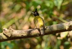 Black-crested bulbul Stock Images
