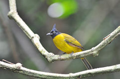 Black-crested Bulbul bird Royalty Free Stock Photography