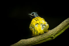 Black-crested Bulbul bird Stock Photo