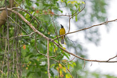 Black-crested bulbul bird in black and yellow perching on tree b Royalty Free Stock Photos