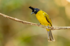 Black-crested Bulbul bird Royalty Free Stock Photography