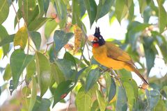 Black-crested Bulbul royalty free stock image