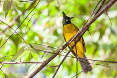 Black crested bulbul Stock Images