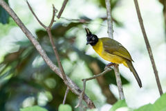 Black crested bulbul Royalty Free Stock Photo