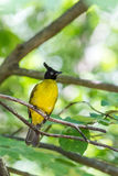 Black crested bulbul Royalty Free Stock Photography