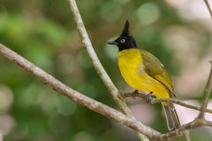 Black crested bulbul Royalty Free Stock Image