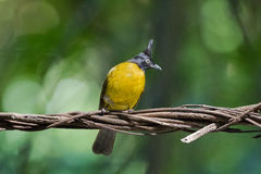 Black-crested bulbul, passerine bird in yellow with black crest Stock Images
