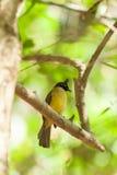 Black-crested Bulbul (Pycnonotus flaviventris)  bird Stock Images