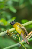 Black-crested Bulbul Royalty Free Stock Photos