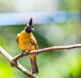 Black-crested Bulbul or Pycnonotus flaviventris bird Stock Photos