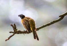Black-crested Bulbul or Pycnonotus flaviventris bird Stock Image