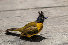 Black-crested Bulbul or Pycnonotus flaviventris bird Royalty Free Stock Images