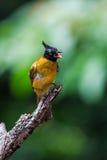 Black-crested Bulbul or Pycnonotus flaviventris bird Royalty Free Stock Photography