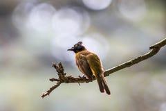 Black-crested Bulbul or Pycnonotus flaviventris bird Royalty Free Stock Photo